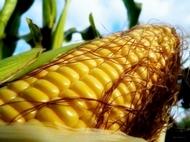 Как долго варить кукурузу