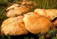 Сколько варить грибы козлята