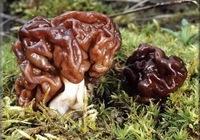 Сколько варить грибы строчки