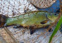 Сколько варить рыбу линь